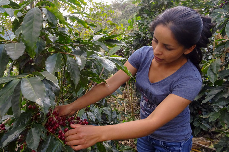 The UN Food Systems Summit could negatively impact small scale farmers like Jeidy pictured here. Young woman reaches into a coffee bush to show ripe coffee cherries on the bush.