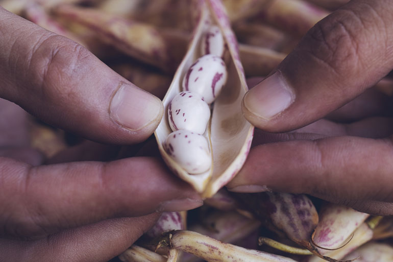 Learn how to plant, grow and save bean seeds - Photo of a close up of a bean beaning opened along its seem.