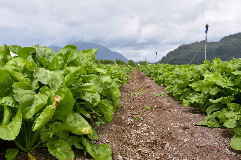 Equity Project of Farmers for Climate Solutions: Call for focus group participants - Image of a field of rows of a leafy crop. There are mountains in the background.