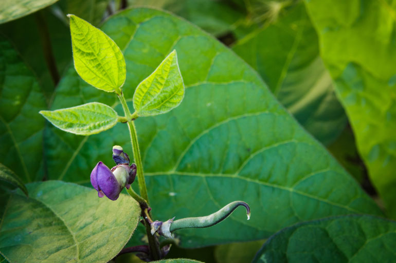 Learn how to plant, grow and save bean seeds - Photo of a close up of a purple bean flower and a small bean starting to grow. The vine ends in three young bean leaves. The background is full of larger bean leaves.