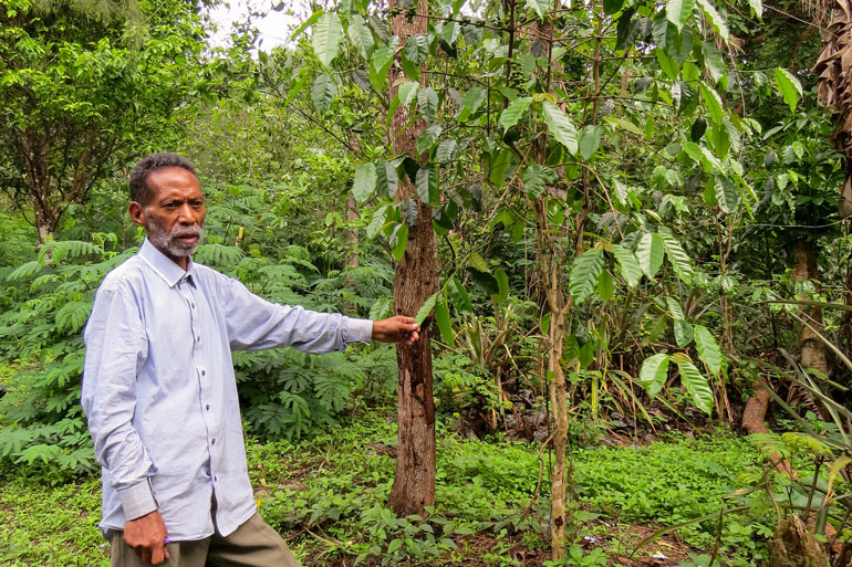 Agroforestry feeds communities in Timor-Leste and Tomas Pinto shows a coffee tree in this photo. He is holding a leaf, still attached to the tree in between his thumb and forefinger.