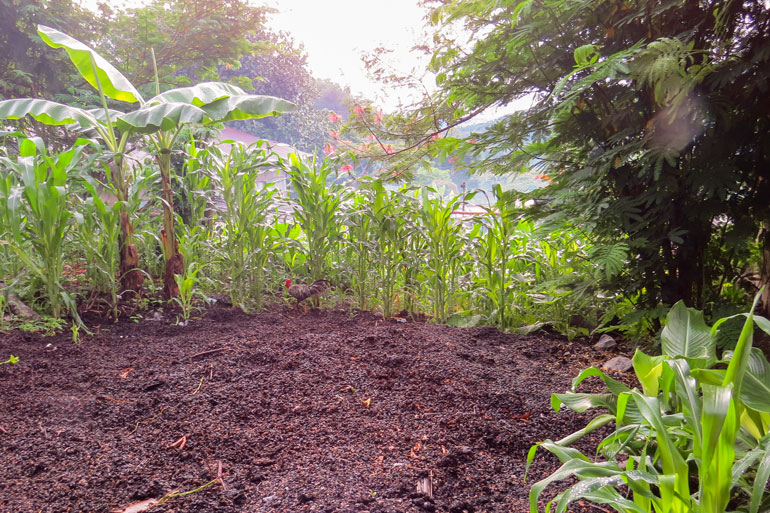 Agroforestry feeds communities in Timor-Leste. Brown organic mulch covers a large section of the ground. Maize grows around the edges of it.