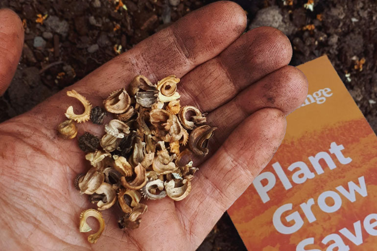 "Where to find local seeds in Canada: Image of a hand covered in dirt holding curled seeds (calendula). There's a seed envelope that says ""PLANT GROW SAVE"" laying on the soil below."
