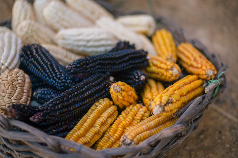 Blue, white and yellow corn in a basket is the image for this article about Indigenous food sovereignty.