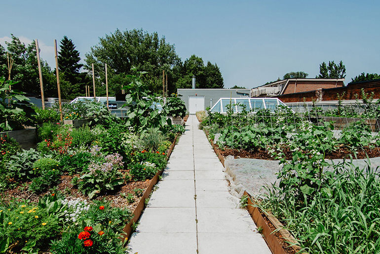 Restoring Canadian seed diversity: This is a rooftop farm. A cement path runs down the middle of crops being grown in short but wide boxes.