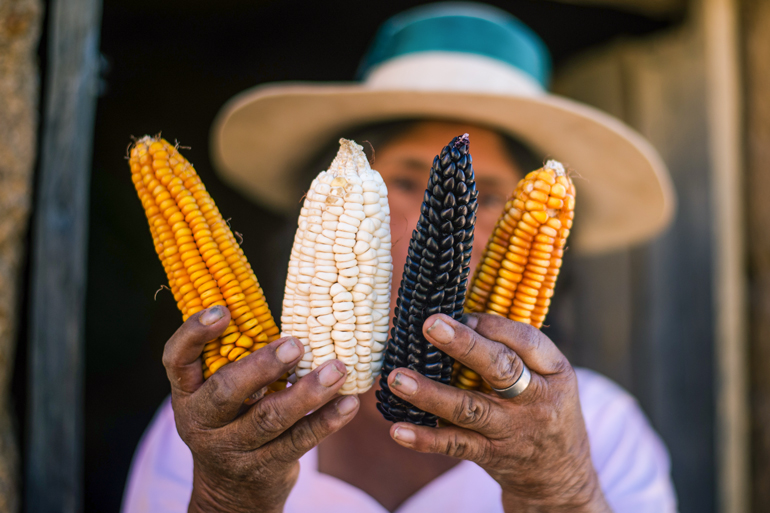 Weathered, strong hands hold four different coloured cobs of corn up to the camera. The corn is in focus and a woman's face and wide brimmed hat is out of focus in the background and partically blocked by the corn cobs.