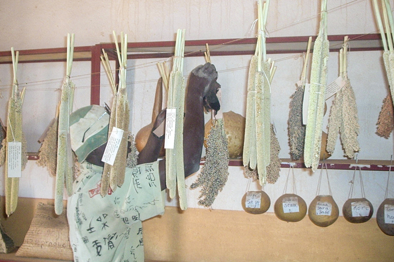 A seed saver in Mali. Man in a hat hangs a bunch of several sorghum heads from a shelf on a cement wall, There are bunches of millet and hollowed gourds hanging too. His face is obscured by a bunch of millet.