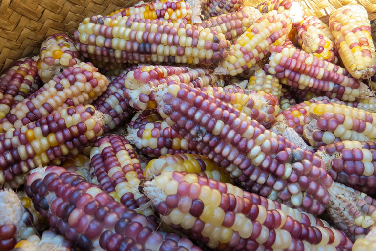 Community seed banks in Timor-Leste - this photo is an image of a basket full of multicoloured maize.