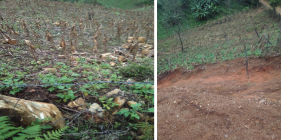 This farm survived two devastating storms using agroecology - Two photos of damaged crops on hillsides.