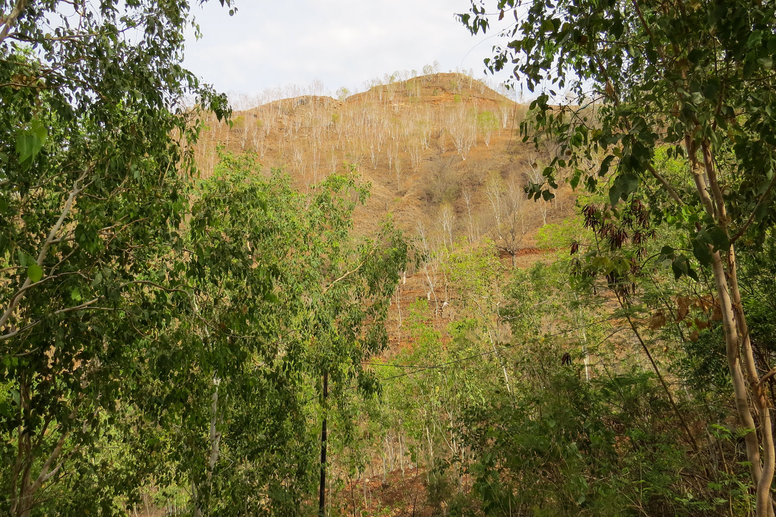 Regenerating soil in Timor-Leste with trees - A photo taken from among green, lush trees. In the background are hills where the soil is dry, brown and dotted with small, leafless trees.