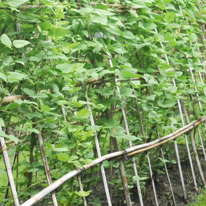 Learn how to plant, grow and save bean seeds - Long, pole beans growing up a bamboo lattice.