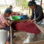 Rural to urban connection is building food sovereignty in Nicaragua - A youth and a young woman are hunched over a table covered in red beans.
