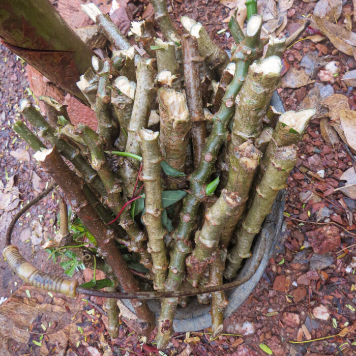 Where is cassava from? - woody stems fill a bucket.