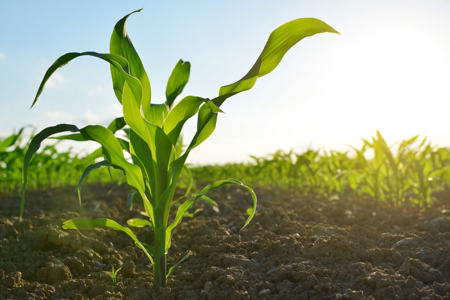 Help protect seed integrity in Canada - photo of a young corn plant growing in a field of corn plants.