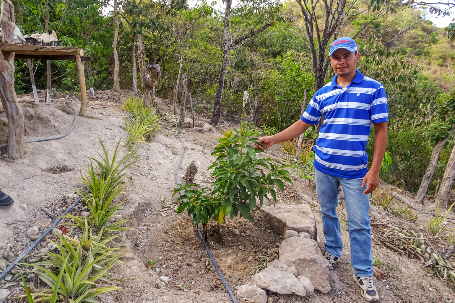 Farming through hardship: A family farmer in Honduras discusses COVID, hurricanes and more - a photo of a man in jeans, a striped polo shirt and a baseball cap. He's standing next to a shrub that comes up to his waist and he's holding one of its leaves gently in his right hand. He's on a slope of dry, rocky soil.